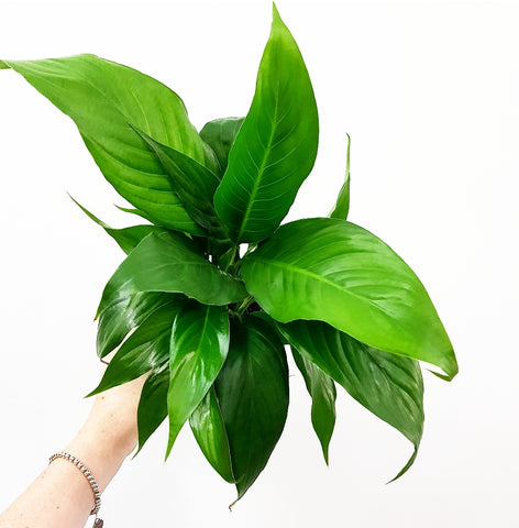 Spathiphyllum Peace Lilly - 100mm Pot
