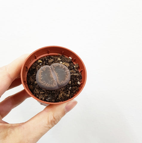 Lithops -60mm Pot #3