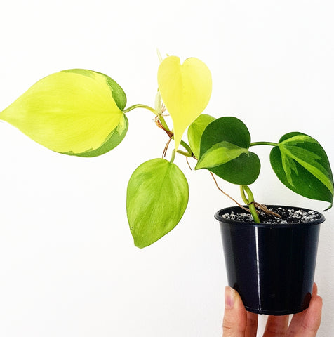 Philodendron Brasil - 80mm Pot #2