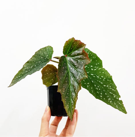 Angel Wing Begonia - 70mm Pot #1
