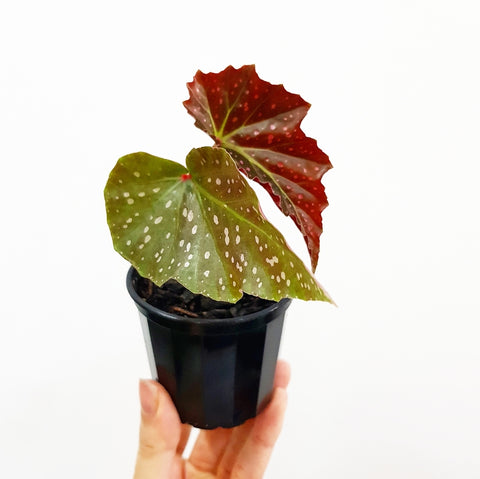 Angel Wing Begonia - 70mm Pot #2