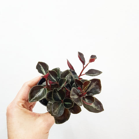 Peperomia Galaxy - 60mm Pot #1