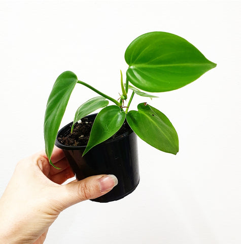 Heart Leaf Philodendron - 80 mm Pot #6