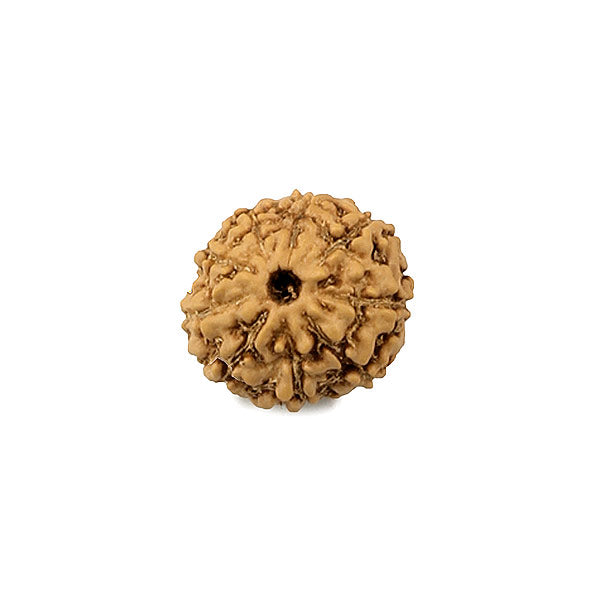 9 Mukhi (faced) Rudraksha - Indonesian Bead