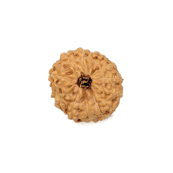 13 Faced Rudraksha Bead from Java