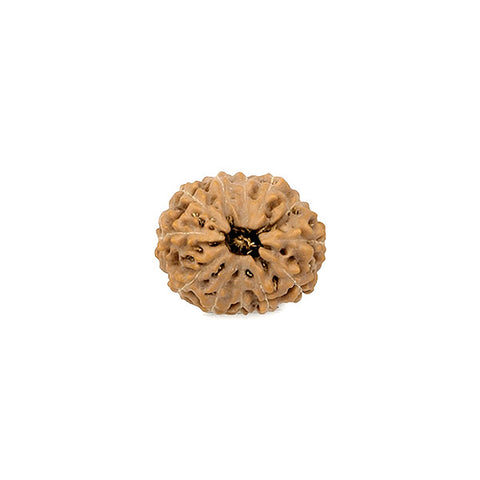 Twelve Faced Rudraksha Bead