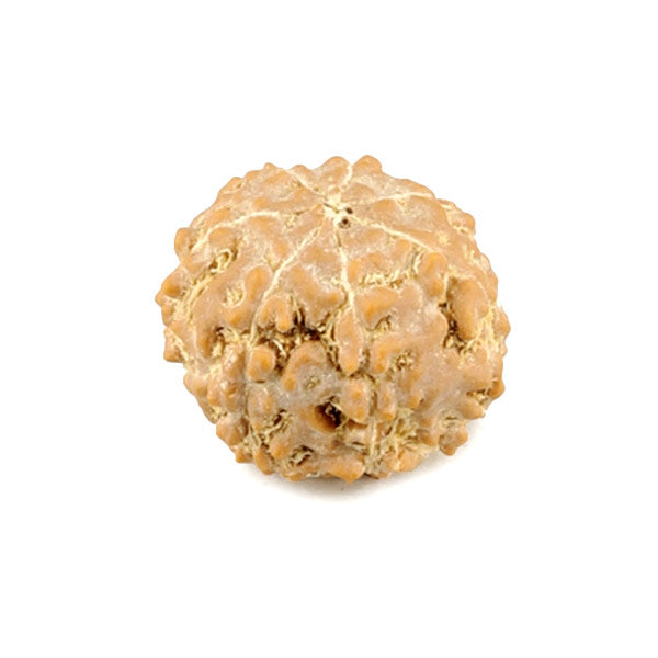 Seven Faced Rudraksha Bead