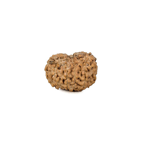 Twelve Face Rudraksha Bead