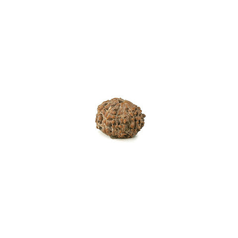 Ten Mukhi (Faced) Rudraksha Bead