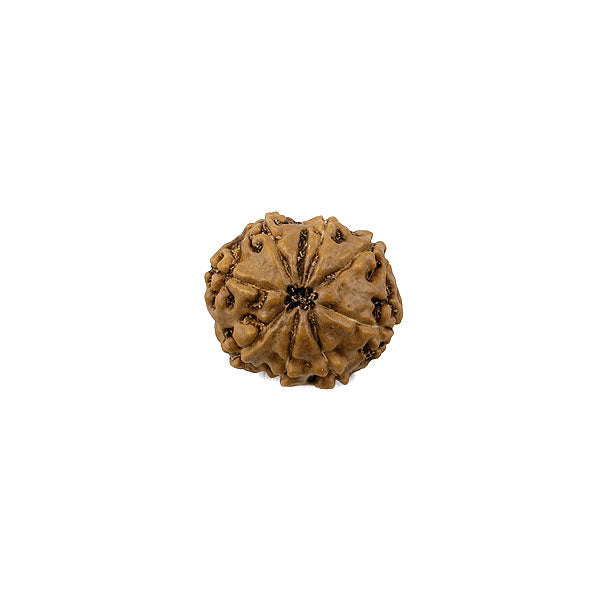 Java Rudraksha - Eight Faced