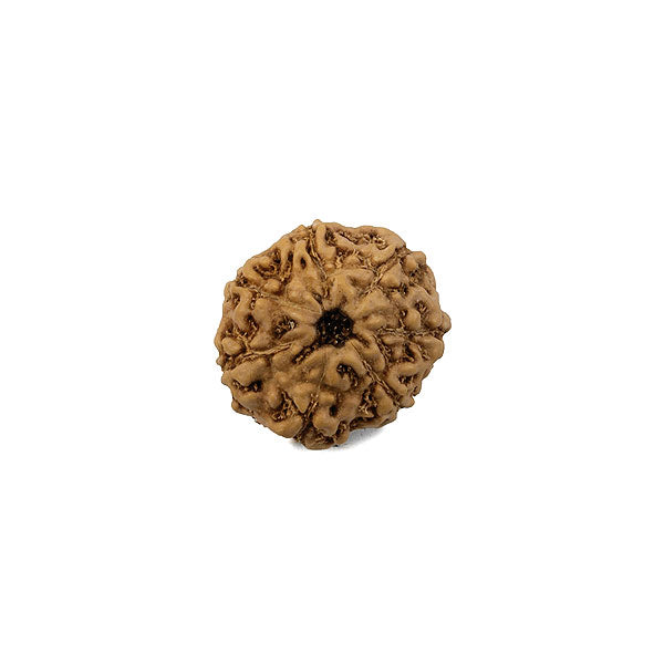 8 Faced (Java) Rudraksha