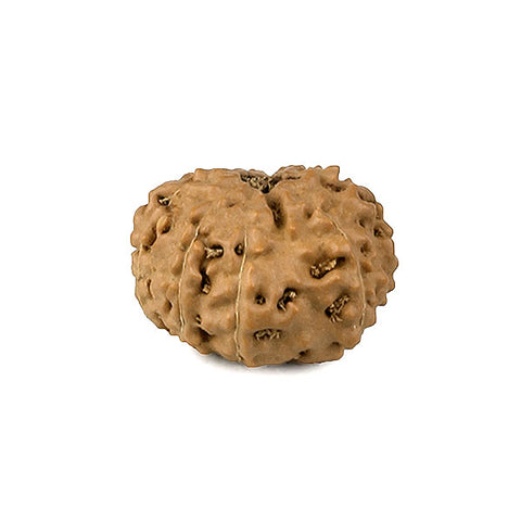 Ten Faced Natural Rudraksha Bead