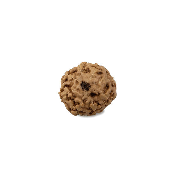 Eight Faced Rudraksha