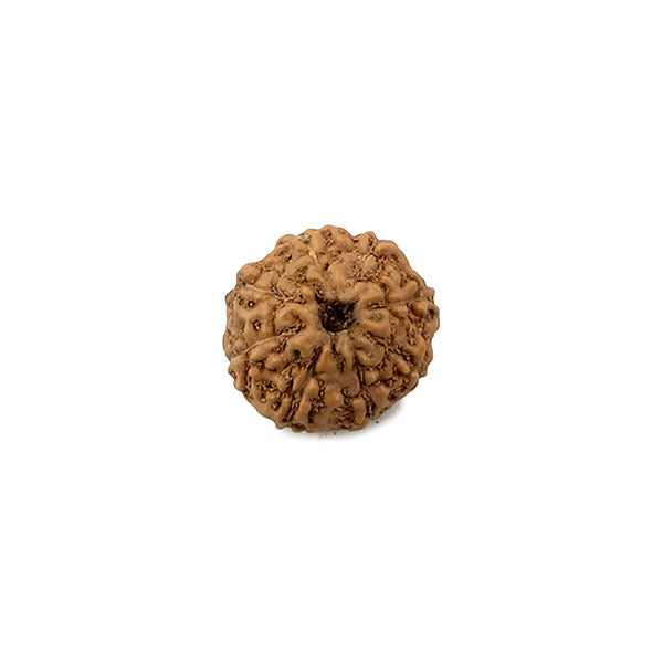 Eight Faced Rudraksha Bead from Indonesia