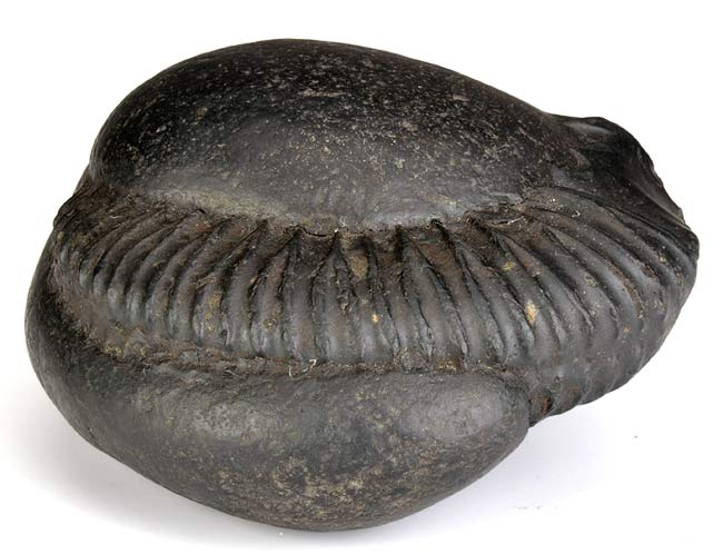 "Symbol of Lord Vishnu ""Shaligram"""