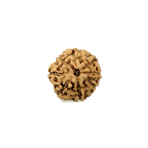 Nine Faced Rudraksha Bead
