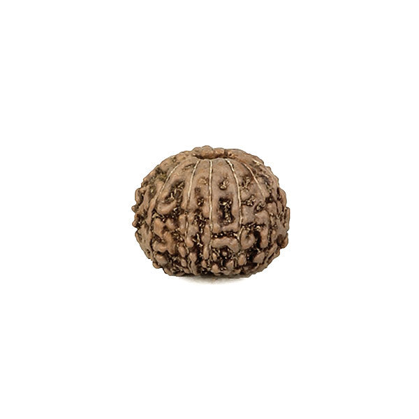 13 Faced Rudraksha Bead