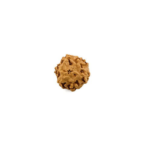 Six Faced Natural Rudraksha Bead