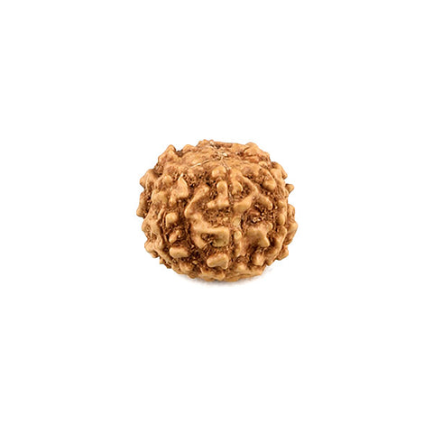 6 Faced Rudraksha Bead From Java