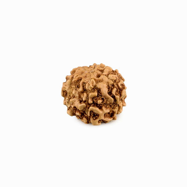 6 Mukhi Rudraksha from Indonesia