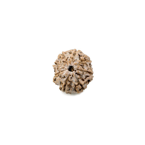 Rudraksha Eight Faced Bead