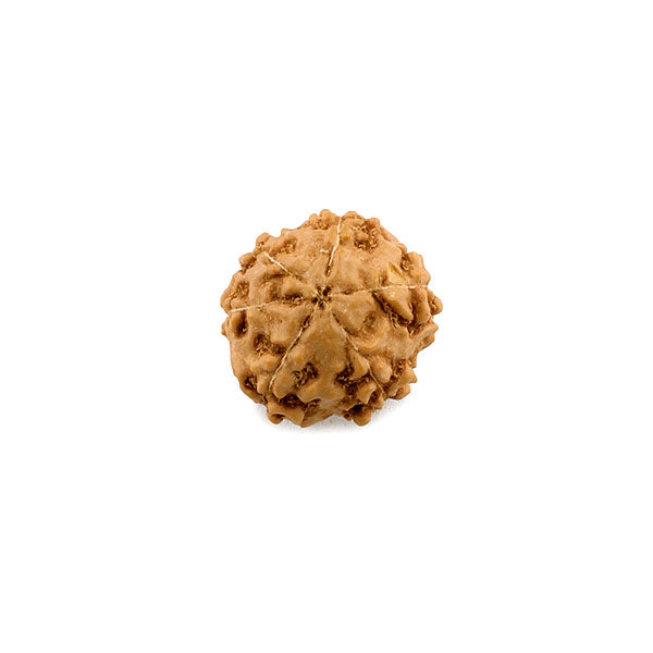 6 Faced Rudraksha of Indonesian Origin