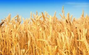 Wheat Canada Data & Analysis - May 2015