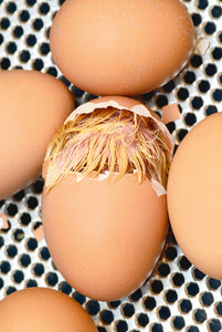 How to determine if youve got a dud egg (and what it can teach you)
