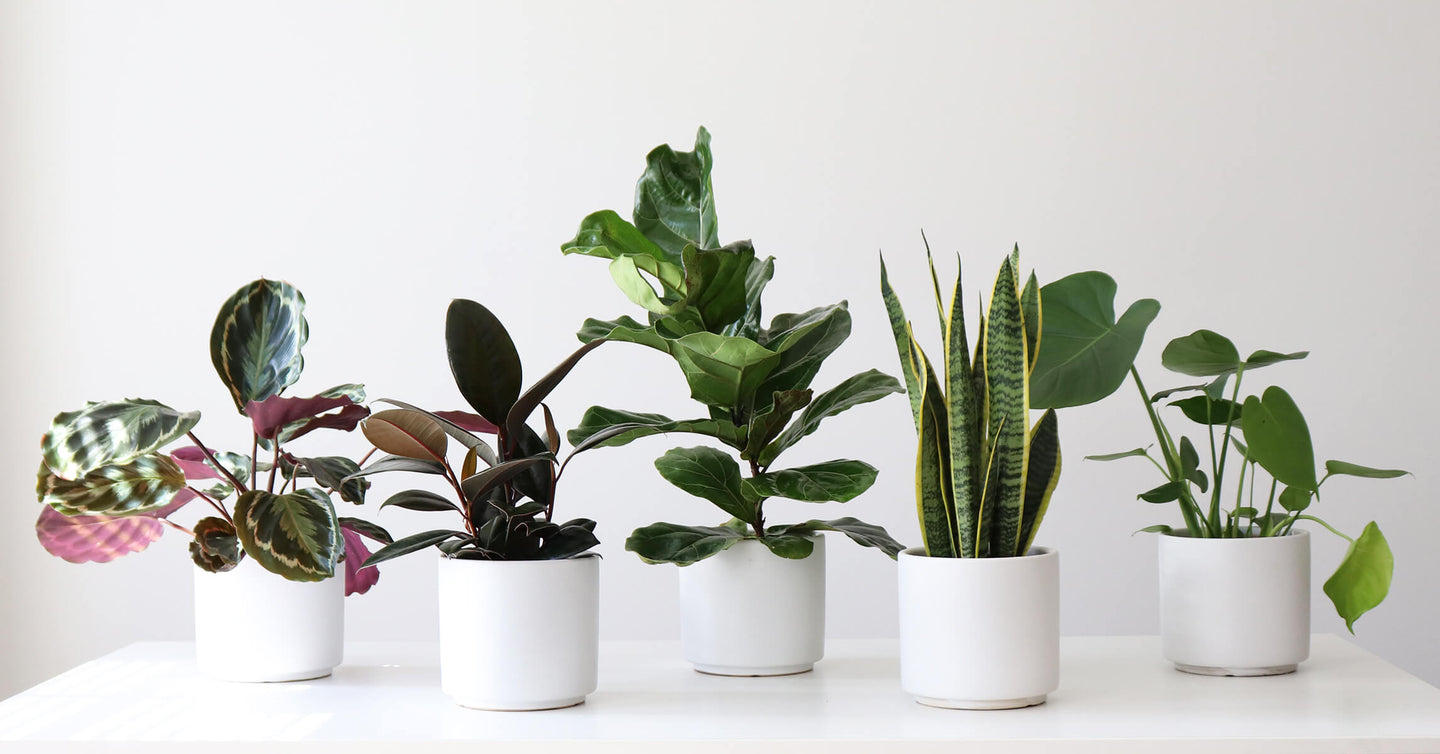 Live Houseplants