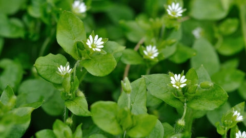 Herb Harvesting Chickweed oil and Nettle Powder