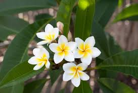 Frangipani Fragrant Oil -25ml