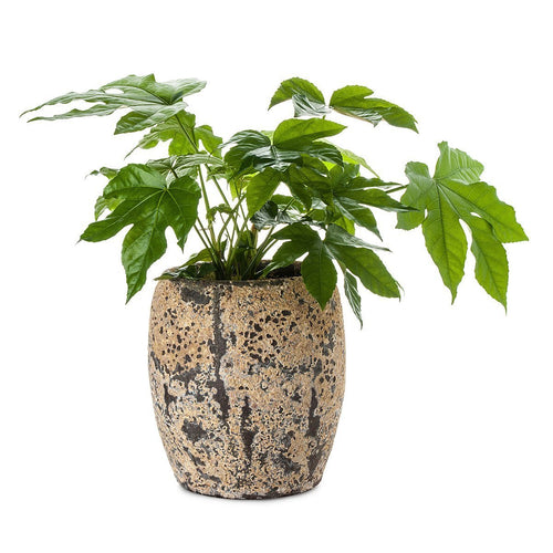 Aralia Atlantis Planter
