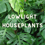 10 Great Low Light Houseplants
