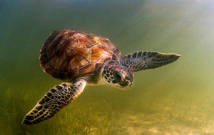 Florida Green Sea Turtle
