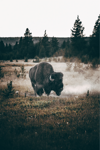 Buffalo is a traditional meat that is experiencing a comeback.