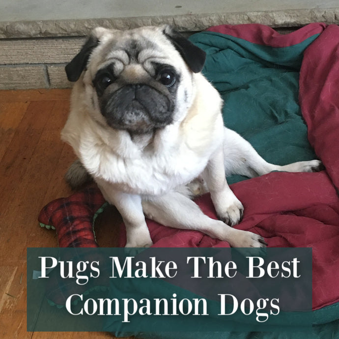 Pugs Make The Best Companion Dogs