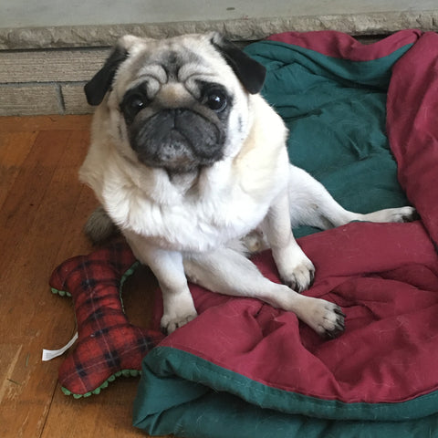 fawn pug sitting on a blanket