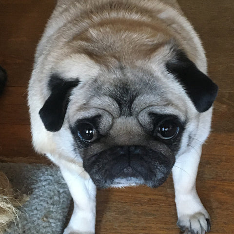 fawn pug looking up lovingly at its master