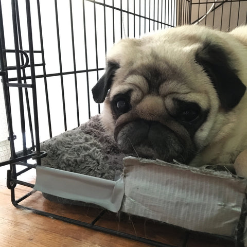 photo of a fawn pug laying in a black dog crate on a gray dog pillow with gray duct tape covering the front of the crate on the bottom