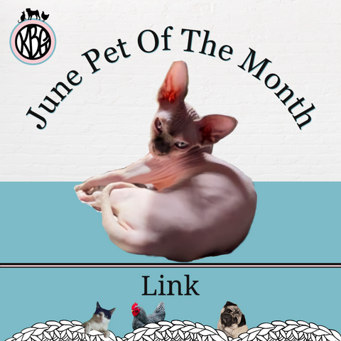 Pink Hairless Sphynx cat curled up in a ball with his head looking at the camera on the June Pet of the Month graphic for KBG
