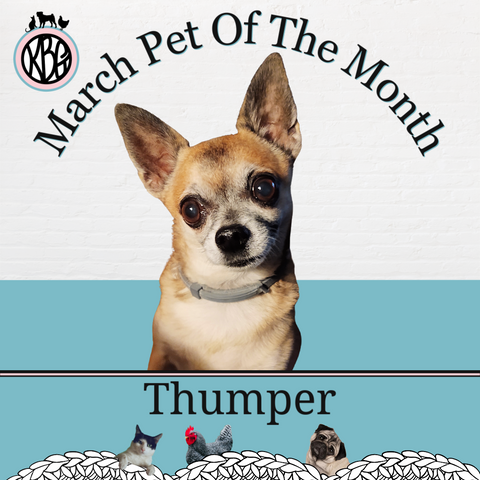 Thumper the Chihuahua is the Knot By Gran'ma March Pet Of The Month