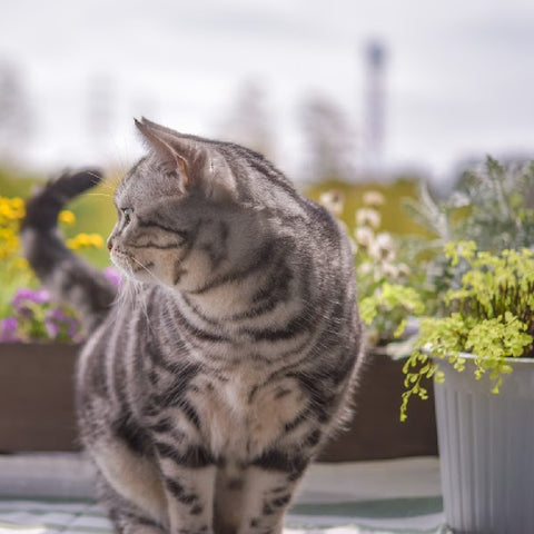 Photo of a  gray striped tabby standing next to a small silver pail with green plants coming out of it looking behind her
