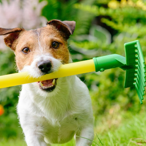 Photo of a jack russel terrier with a yellow handled green rake in his mouth