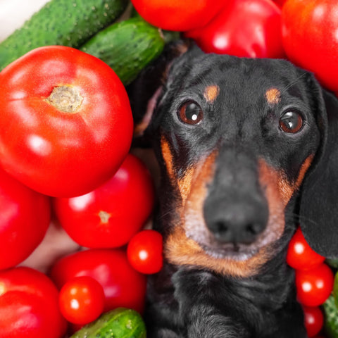 Photo of a dachshund with his head peeking out of a pile of red tomatoes and green cucumers
