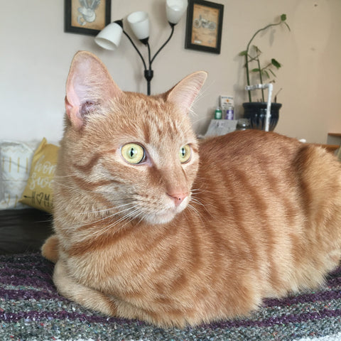 An orange tabby sitting on a purple and gray horse blanket like a loaf of bread. His eyes are bright yellow and there are household items in the background.