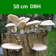 Load image into Gallery viewer, Tree Stump Mushroom Inoculation (50cm DBH) - ADANSONIA