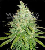 Afhan Kush x Black Domina Marijuana Seeds