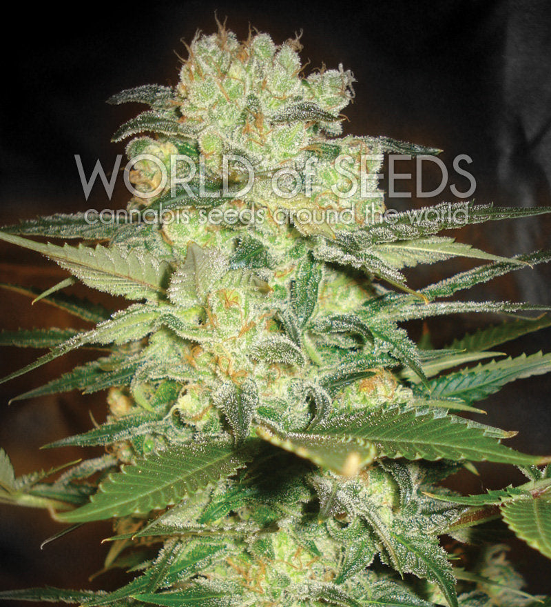 Afghan Kush x White Widow Marijuana Seeds