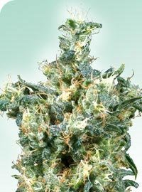 American Dream Marijuana Seeds