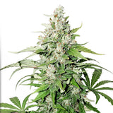 Dutch Passion Seeds Cinderella Jack Auto Feminised Marijuana Seeds